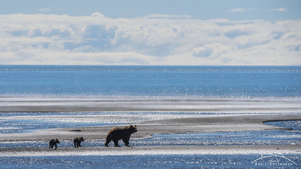 A Grizzly family out clamming. © Daniel Rosengren
