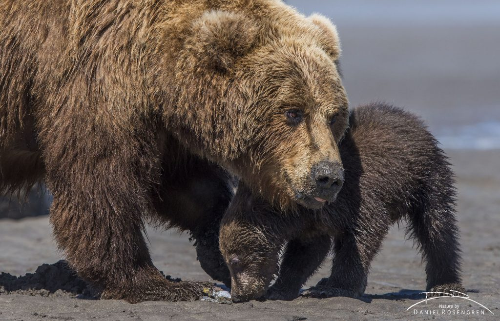 A Grizzly mother offering her cub a clam. © Daniel Rosengren