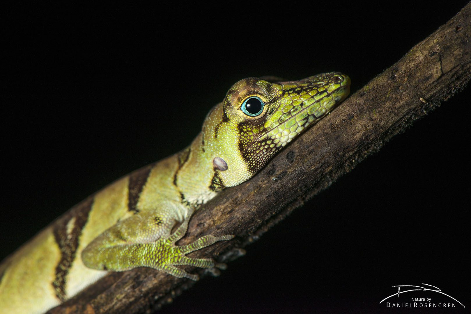 A lizard in Yaguas. © Daniel Rosengren