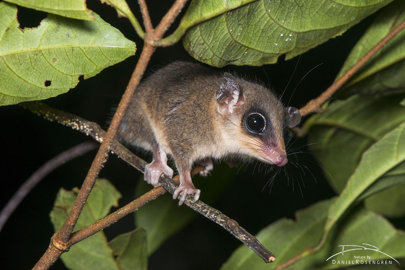 An opossum in the Yaguas. © Daniel Rosengren