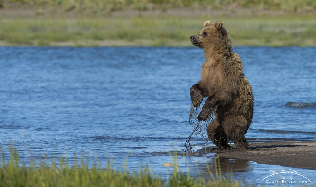 A young Grizzly bear standing up to get e better view. © Daniel Rosengren