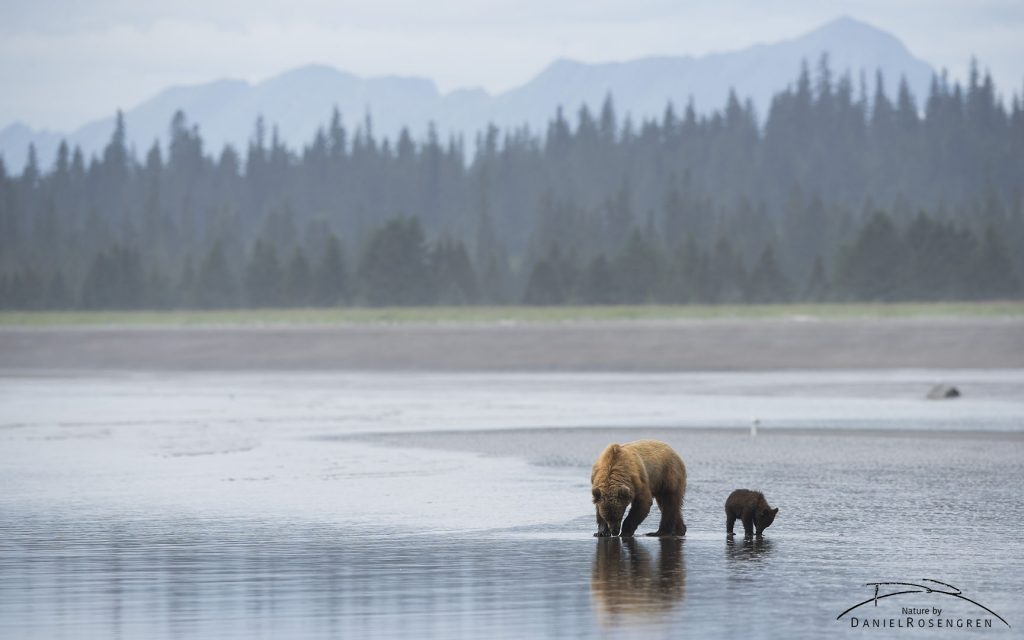 A Grizzly bear family out clamming. © Daniel Rosengren