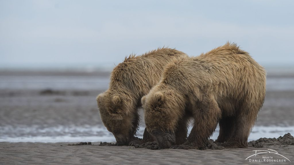 Clamming Grizzly siblings. © Daniel Rosengren
