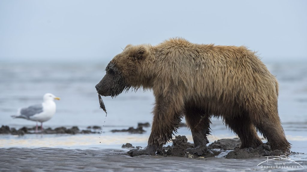 A Grizzly with a clam. © Daniel Rosengren