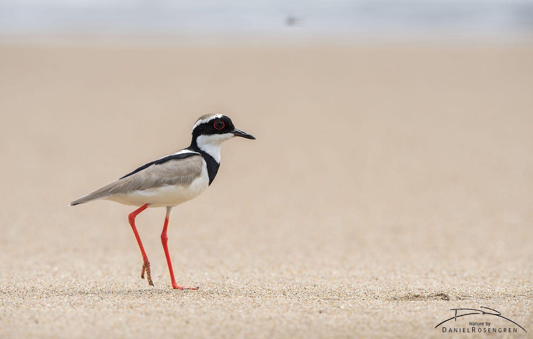A Pied Lapwing likes a beach. © Daniel Rosengren
