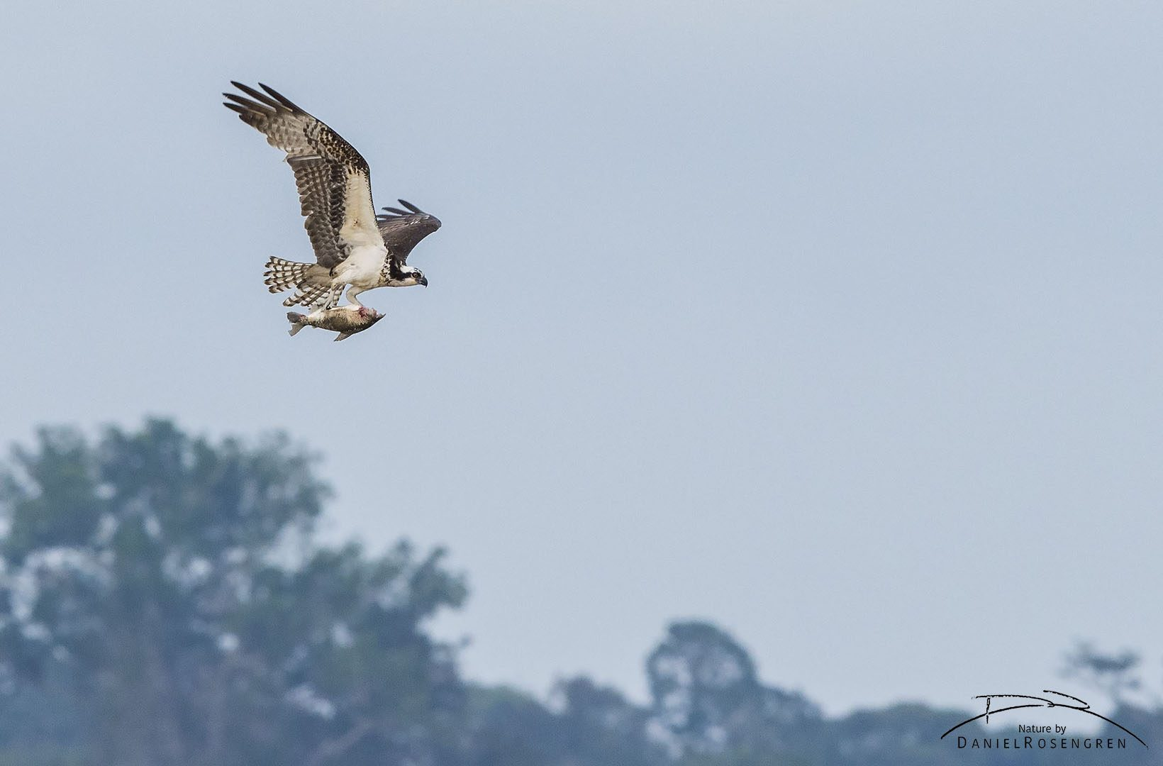 An Osprey with a fish over the river while approaching Yaguas. © Daniel Rosengren