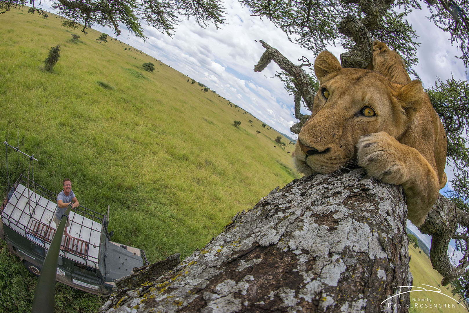 Daniel Rosengren taking a selfie with a pride of lions (Mukoma Gypsies) in a tree. Serengeti NP, Tanzania. © Daniel Rosengren