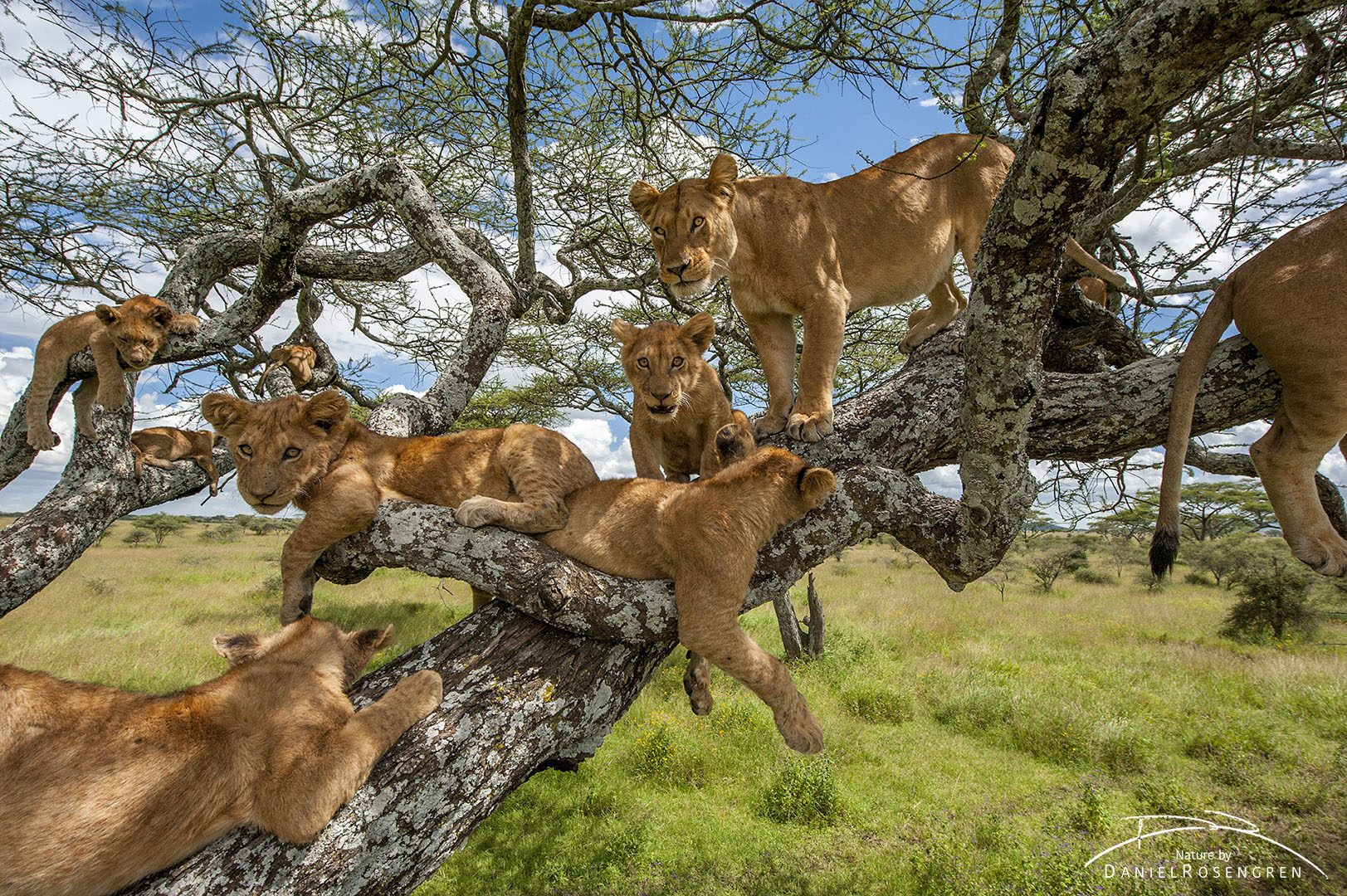 11 lions relaxing in a tree.  © Daniel Rosengren