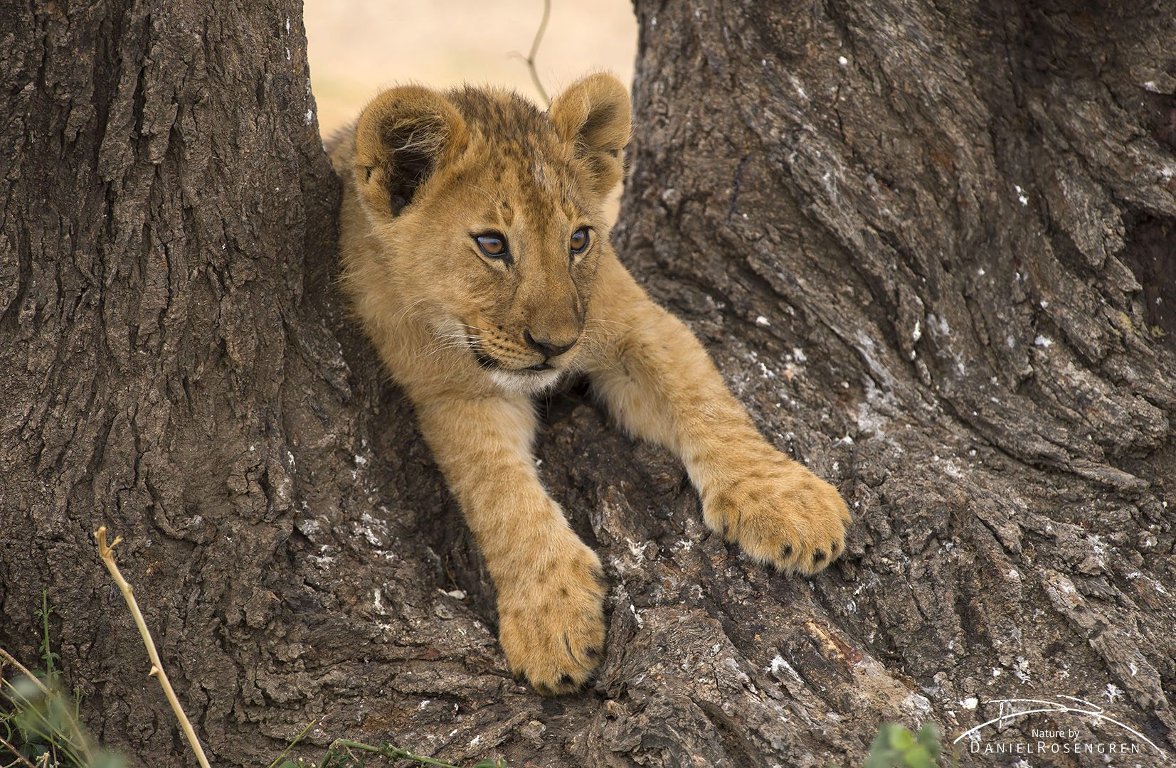A lion cub resting on the base of a tree in Serengeti.