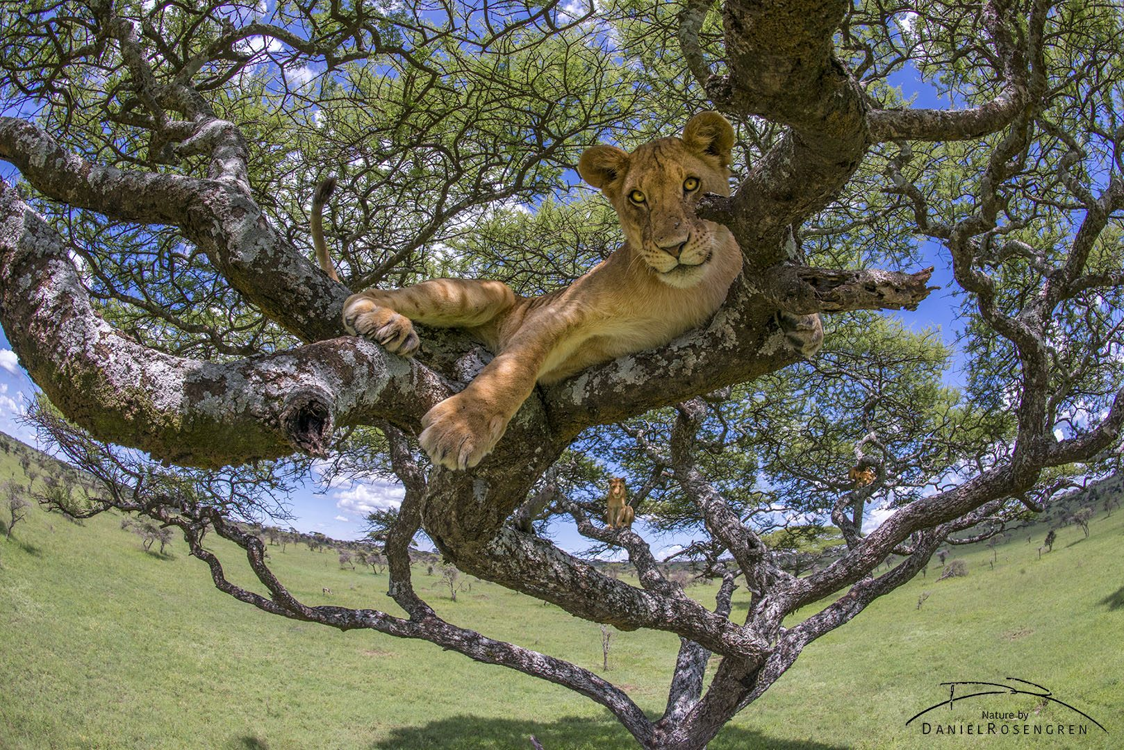 A young lion in an Acacia tree photographed with a 16mm fisheye lens. © Daniel Rosengren