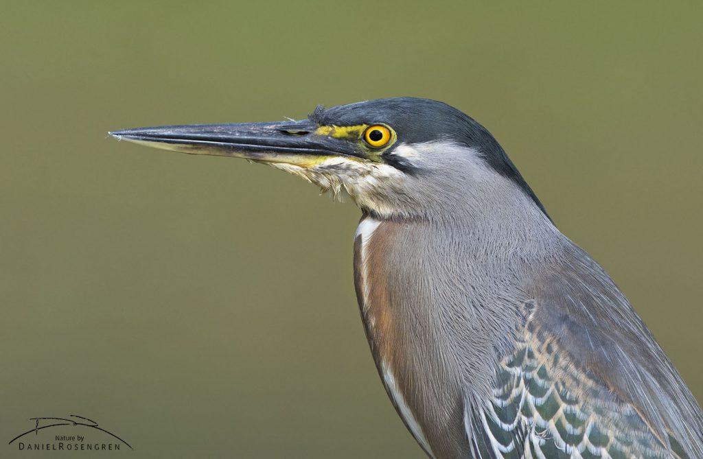 A Striated Heron. © Daniel Rosengren