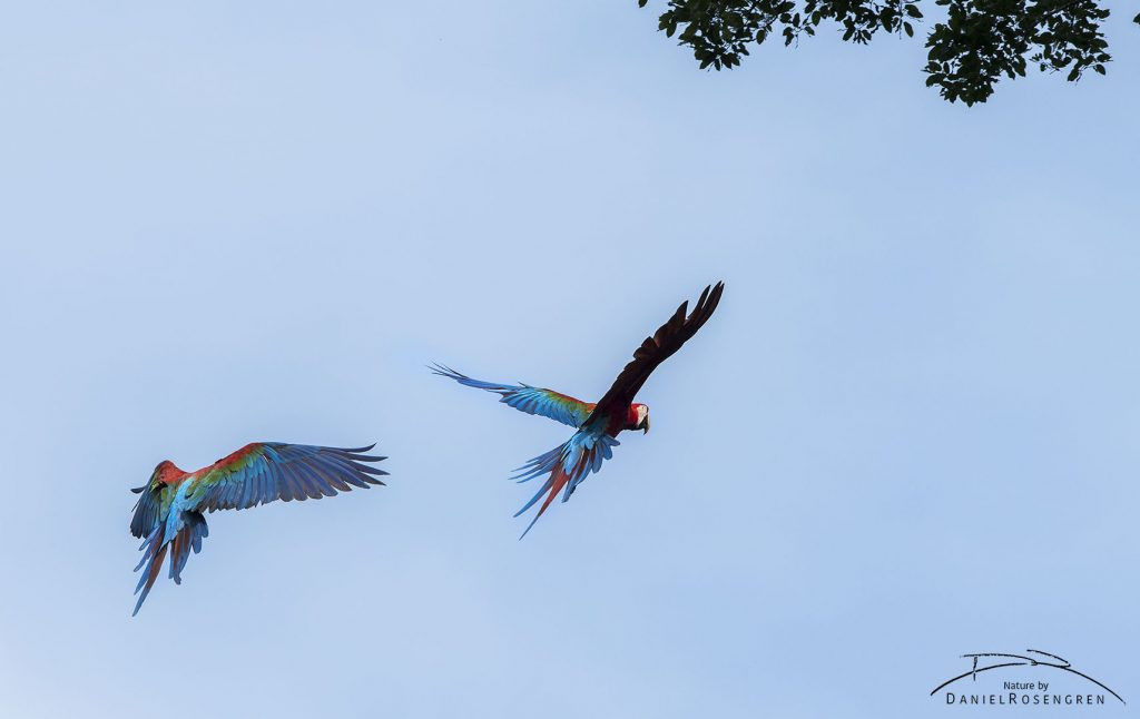 Red-and-green Macaws. © Daniel Rosengren