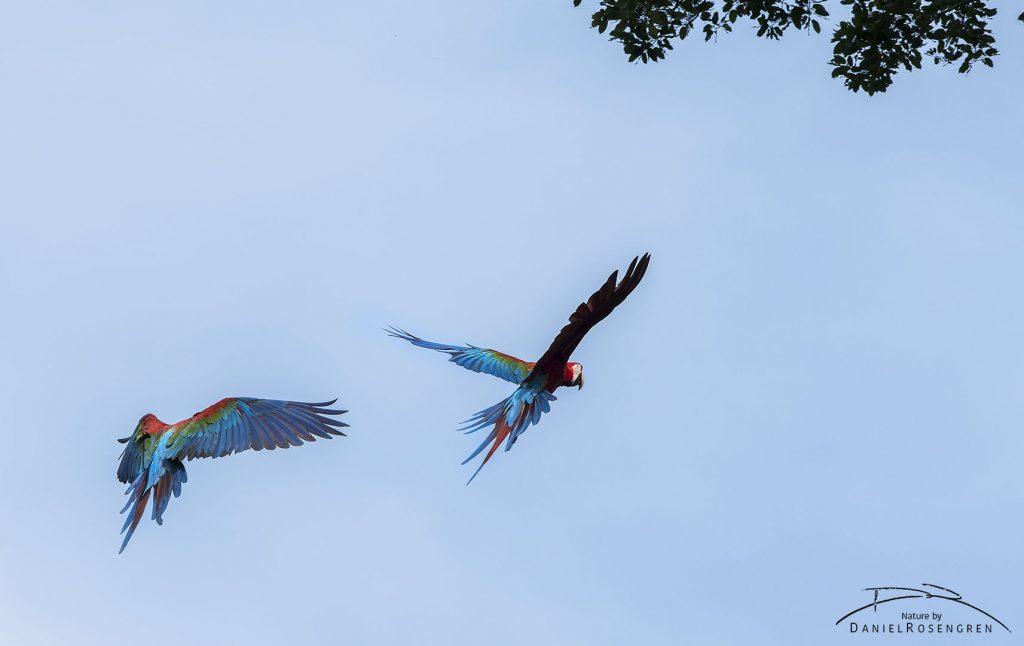 Red-and-green Macaws at the Jordan Falls in Kanuku Mountains Protected Area, Guyana. © Daniel Rosengren