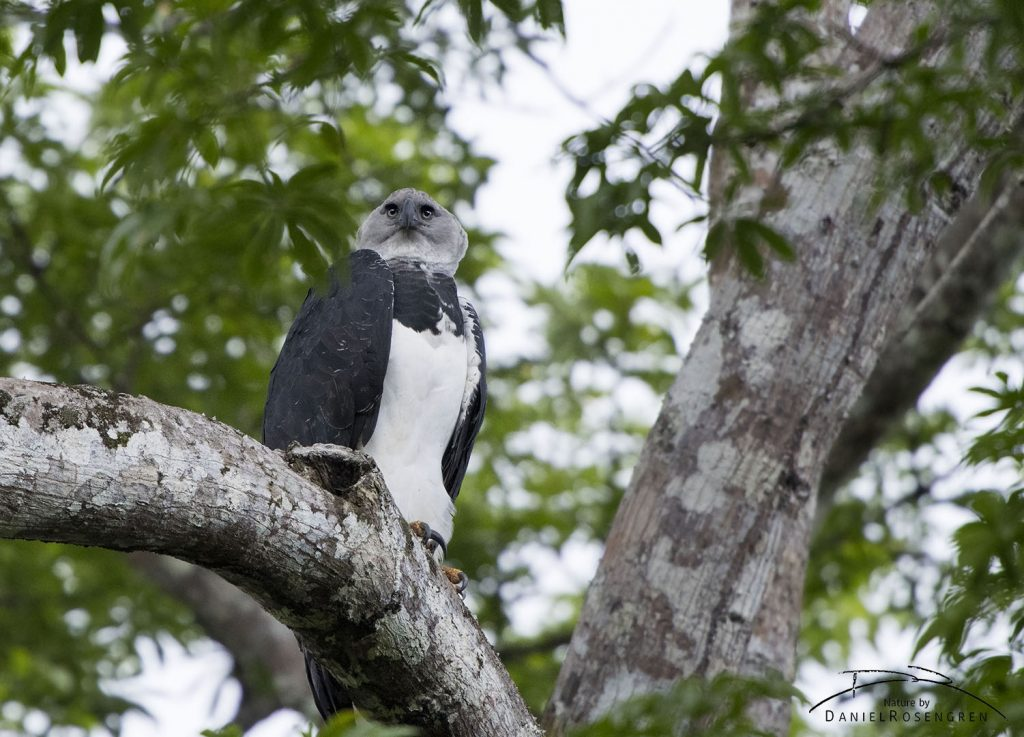 A female Harpy Eagle sitting in a Ceiba tree in Kanuku Mountains. © Daniel Rosengren
