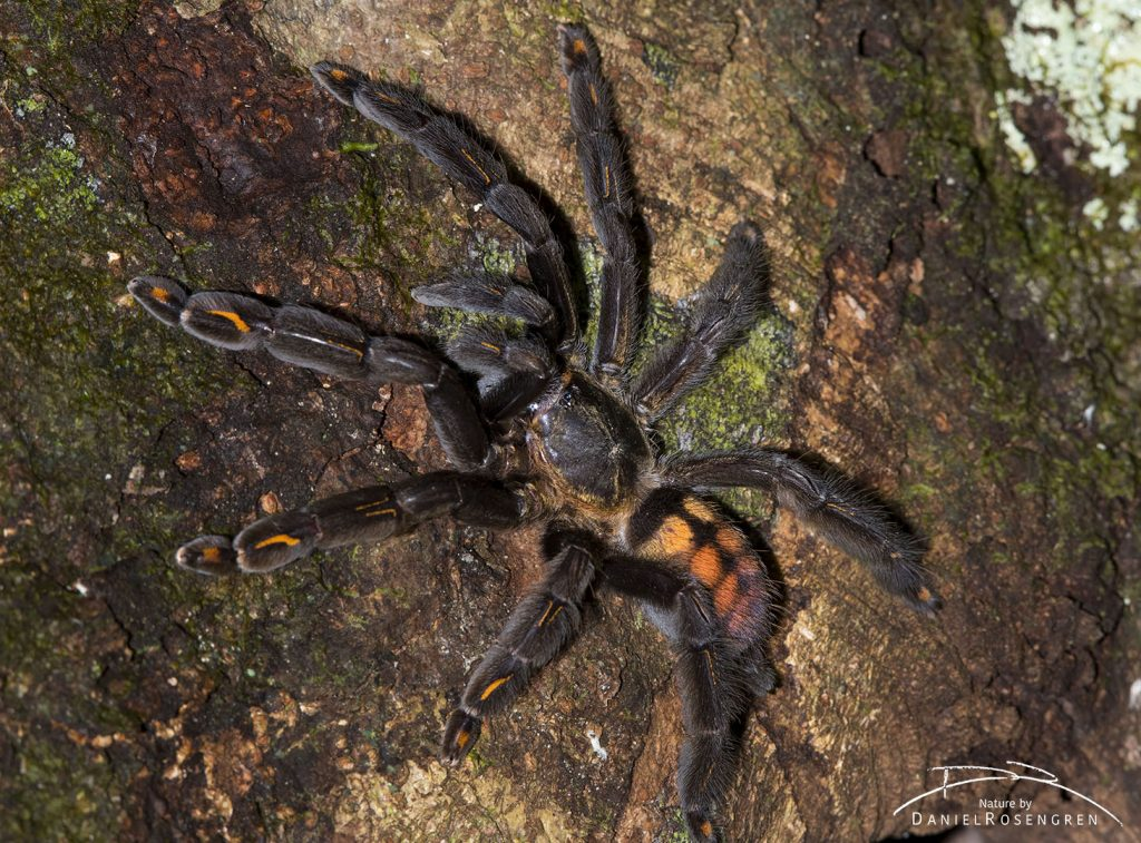 This tarantula is called a Venezuelan Suntiger and was not discovered by science until 1994. © Daniel Rosengren