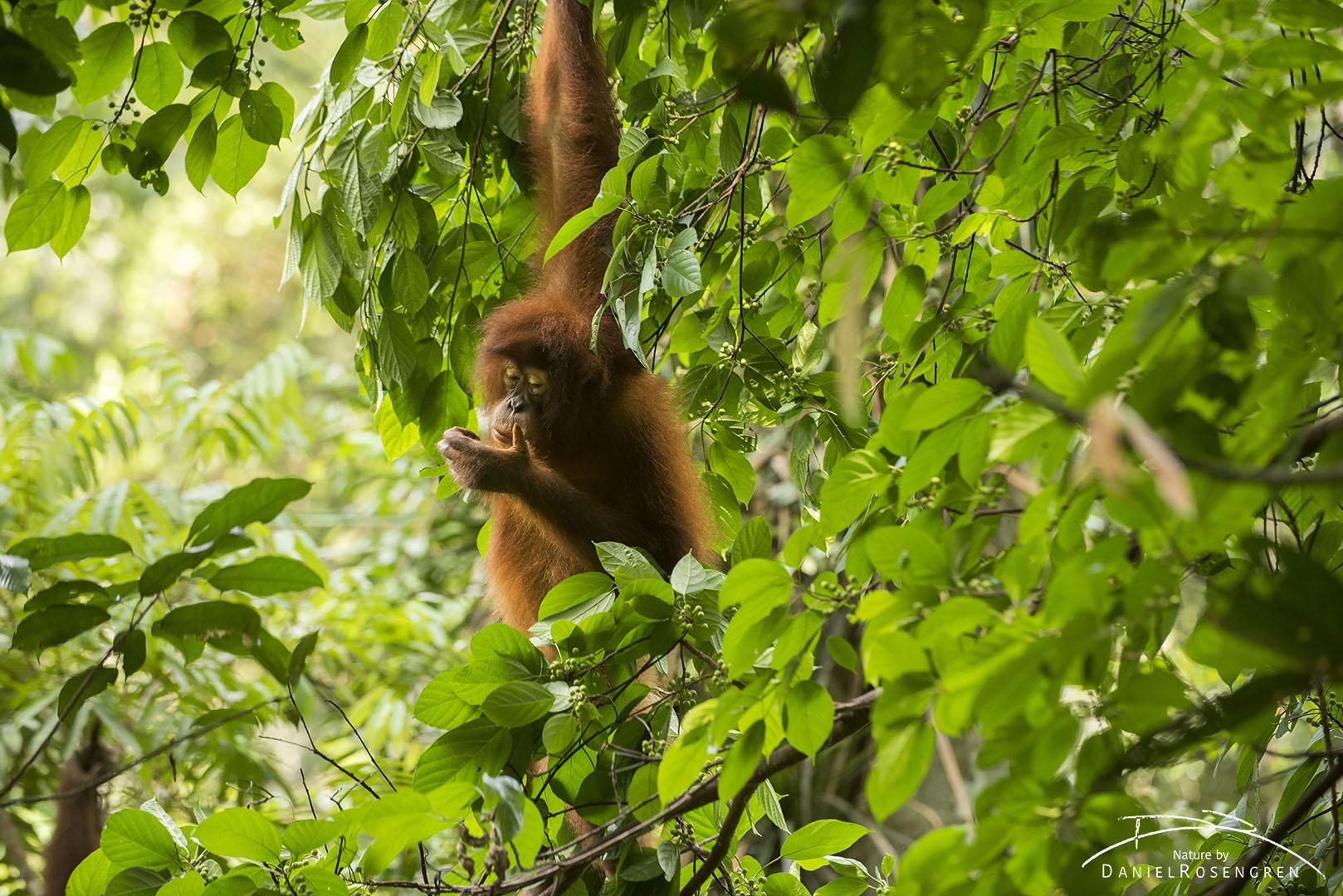 An Orang-utan in Bukit Tigapuluh, Sumatra. © Daniel Rosengren