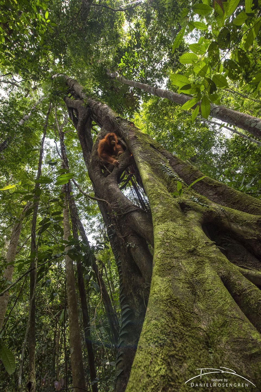 A Sumatran Orang-utan in a strangler fig. © Daniel Rosengren