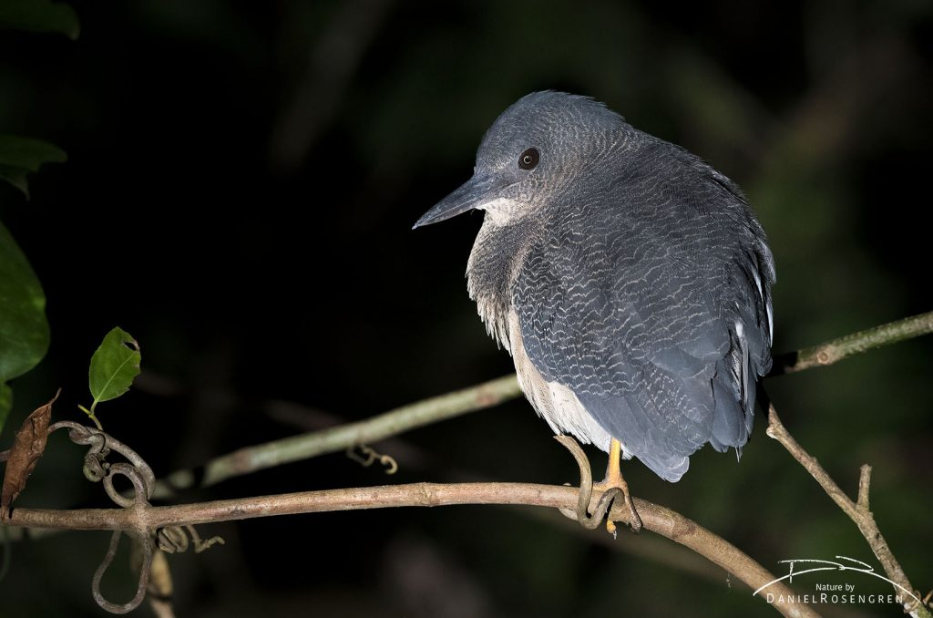 The Zigzag Heron is rare, shy and hides in the densest shrub. © Daniel Rosengren