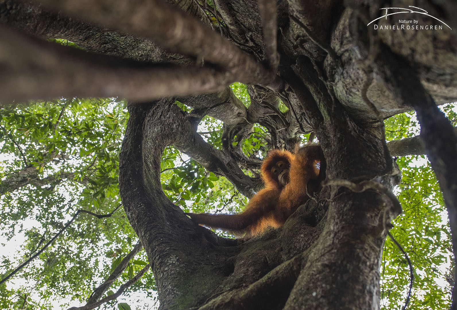 A Orang-utan enjoying sitting in a Strangler fig. © Daniel Rosengren