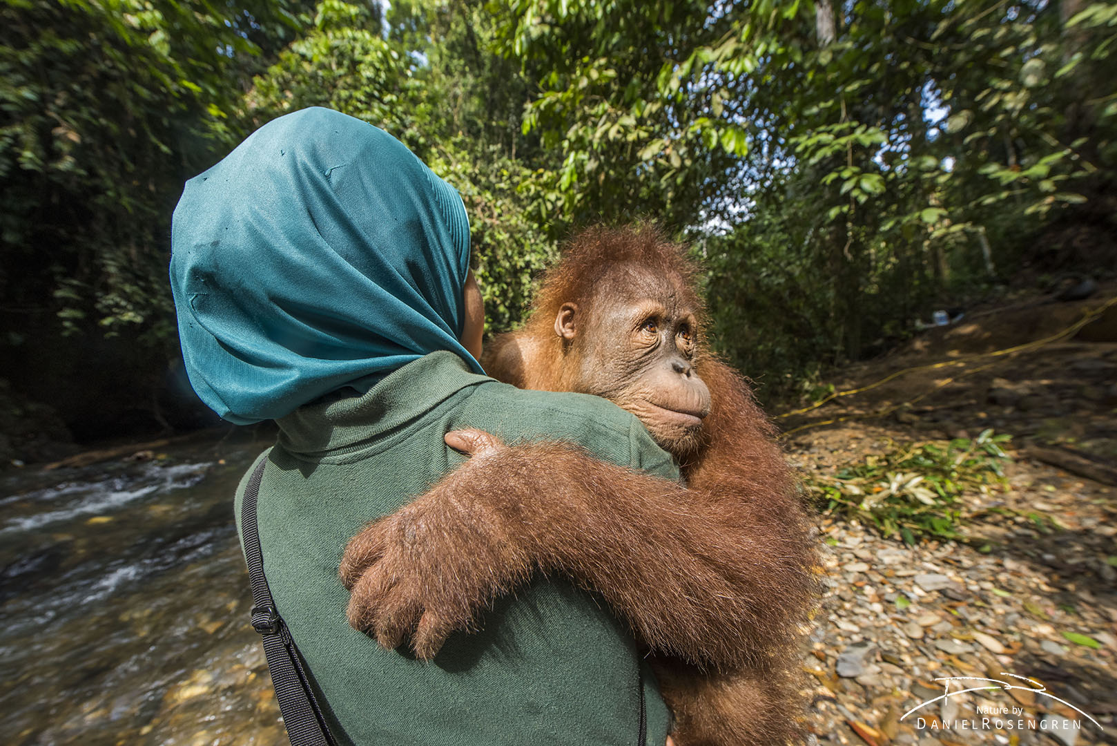 A young orangutan (Kedaung) carried out by trainer Siti Fatimazzahra to jungle school. Before being released, orangutans need to learn several skills so they can survive better. © Daniel Rosengren