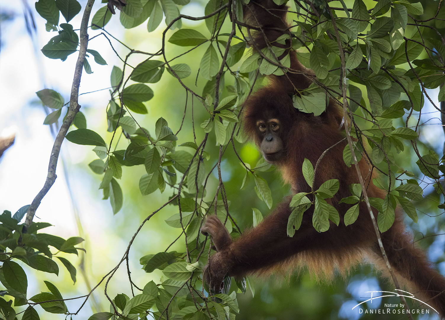 A young Orang-utan climbing on thin branches. © Daniel Rosengren