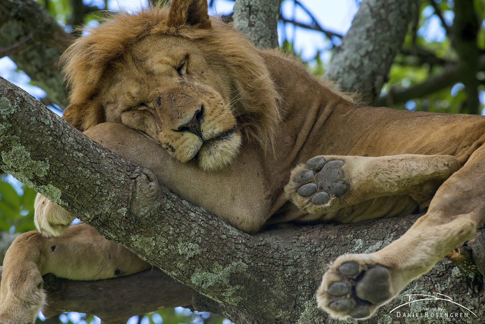 A male lion in a tree is a rare sight. © Daniel Rosengren