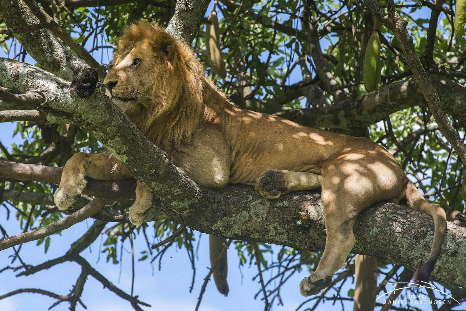 It is very rare to see an adult male high up in a tree. © Daniel Rosengren