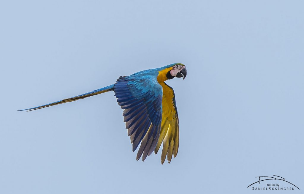 A Blue-and-yellow Macaw in Kanuku Mountains Protected Area, Guyana. © Daniel Rosengren