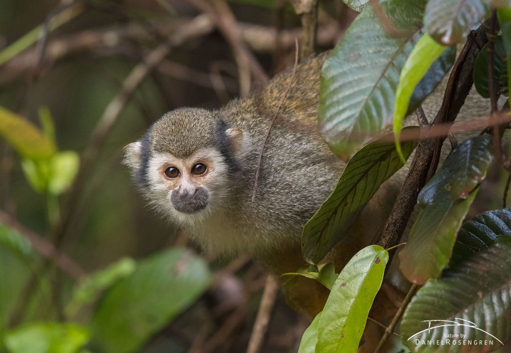 A curious Squirrel monkey. © Daniel Rosengren