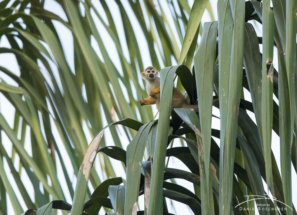 A Squirrel monkey sitting on a palm leaf. © Daniel Rosengren