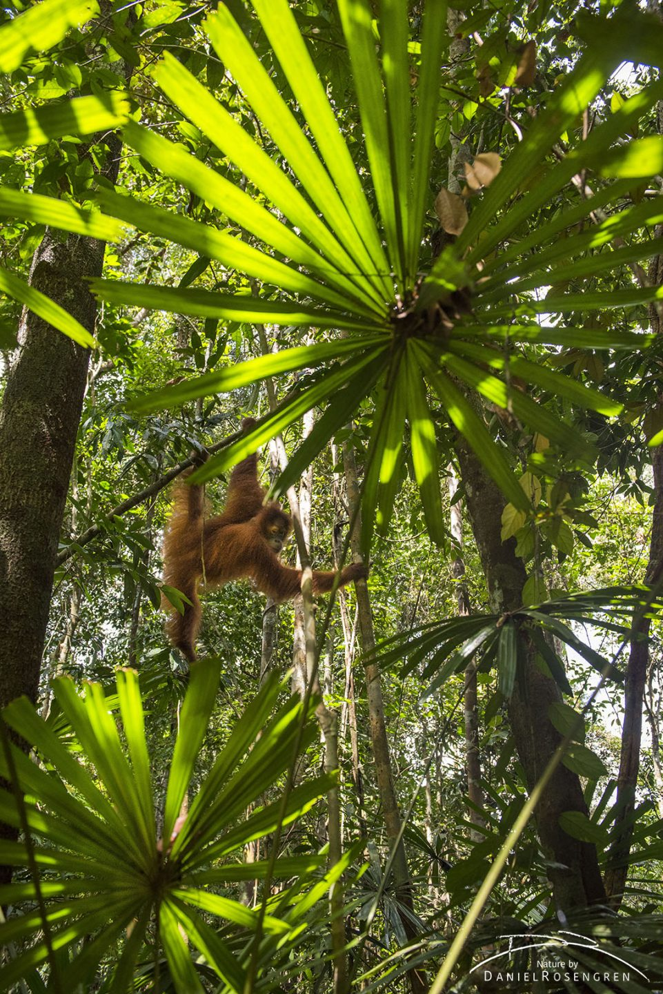 A young Orang-utan enjoying freedom in the jungle. © Daniel Rosengren