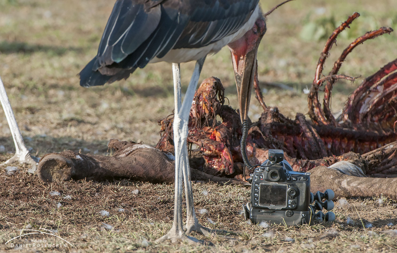 A Marabou stork testing if the remote control trigger's cable is edible. Luckily, it decided it wasn't. © Daniel Rosengren