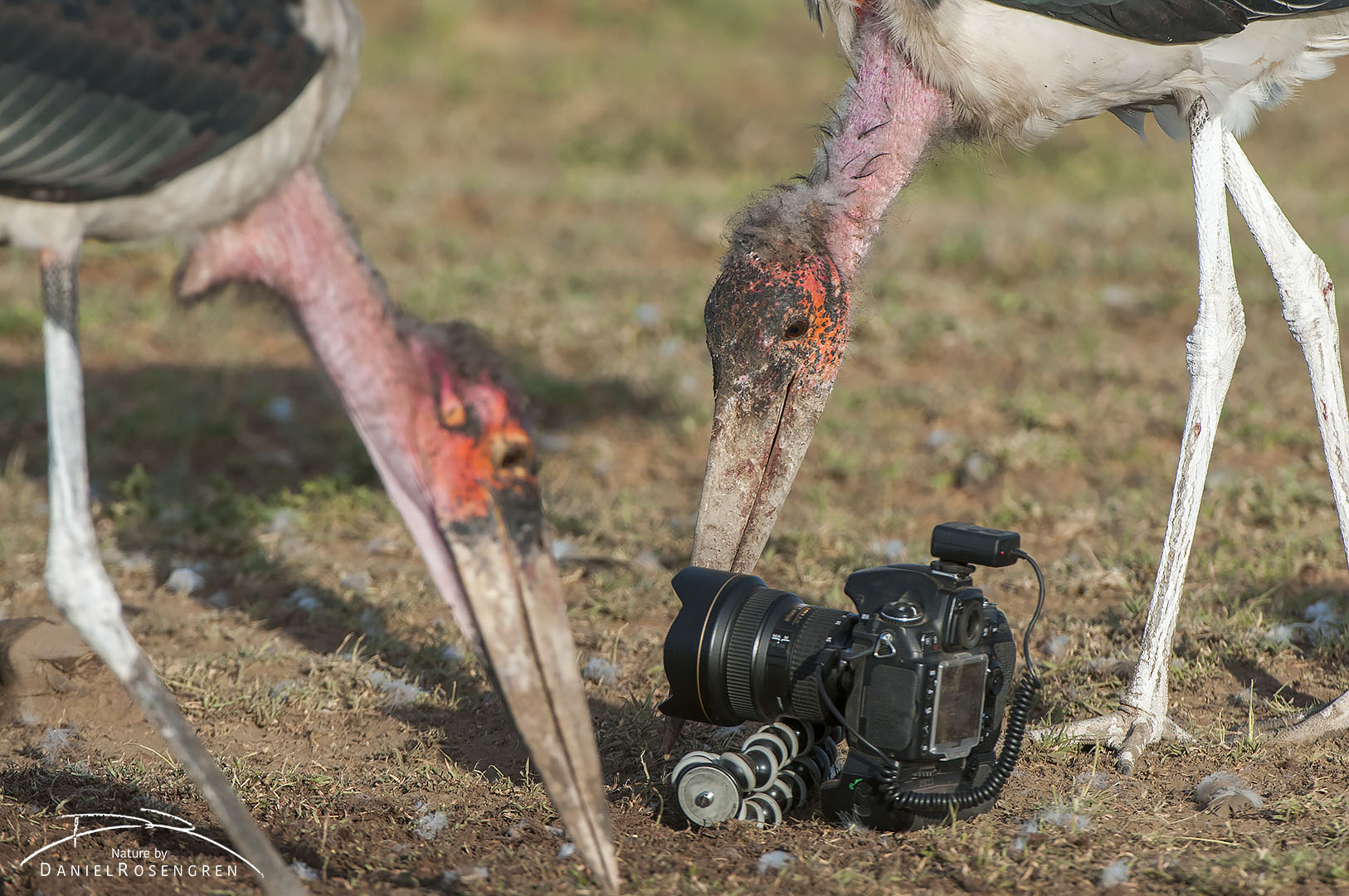 Marabou storks picking up small pieces of food around the camera. © Daniel Rosengren
