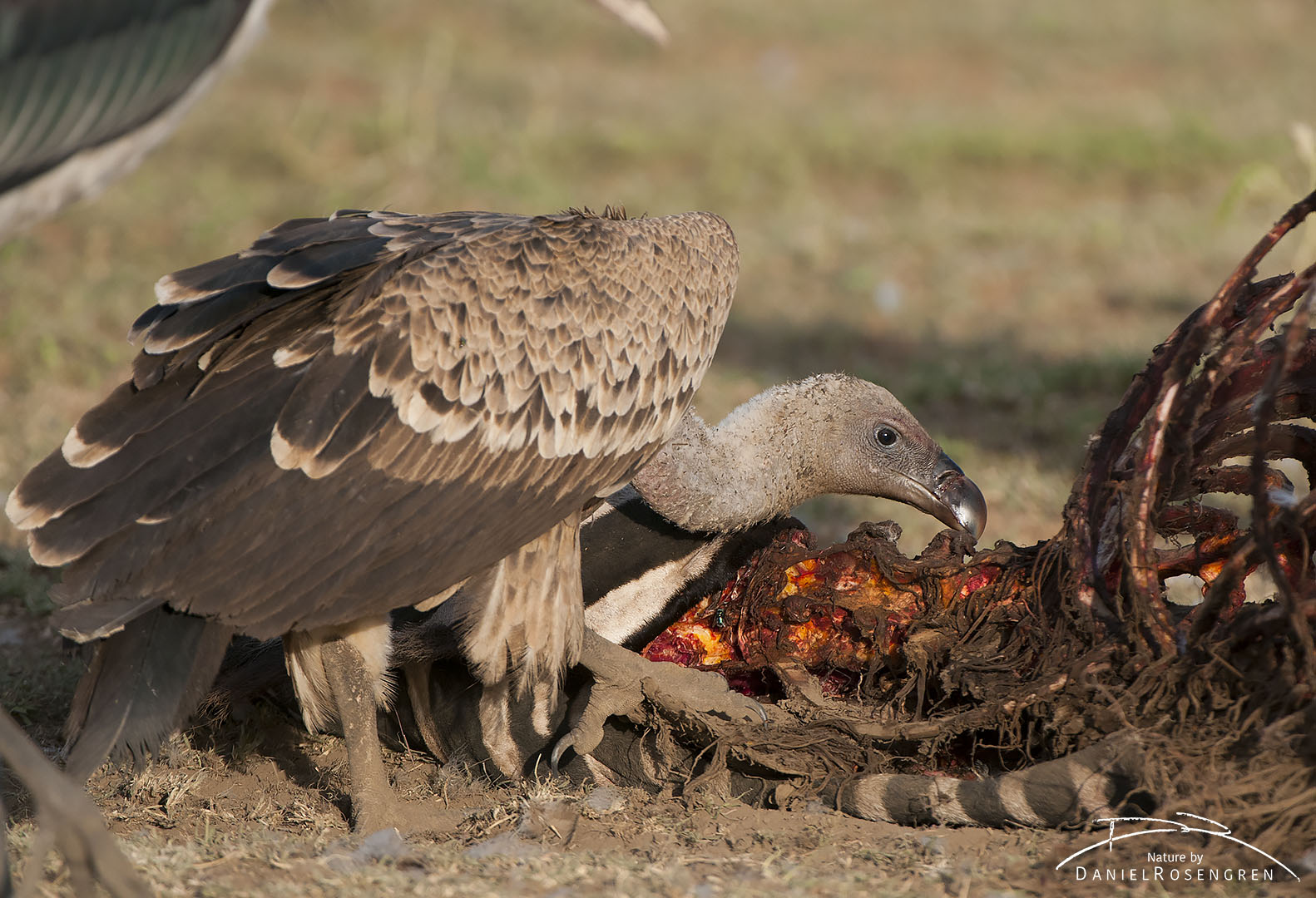 A White-backed vulture enjoying a zebra carcass. © Daniel Rosengren