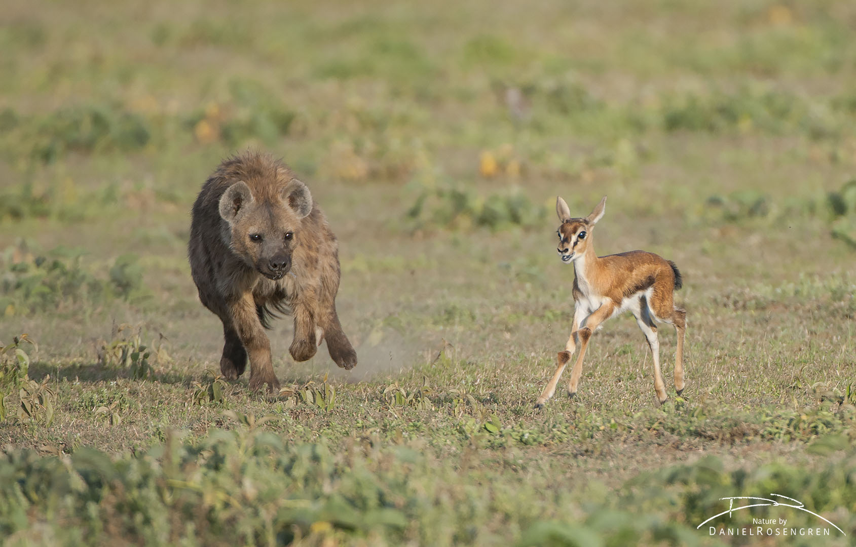 A Spotted hyena chasing a young Thomson's gazelle. © Daniel Rosengren