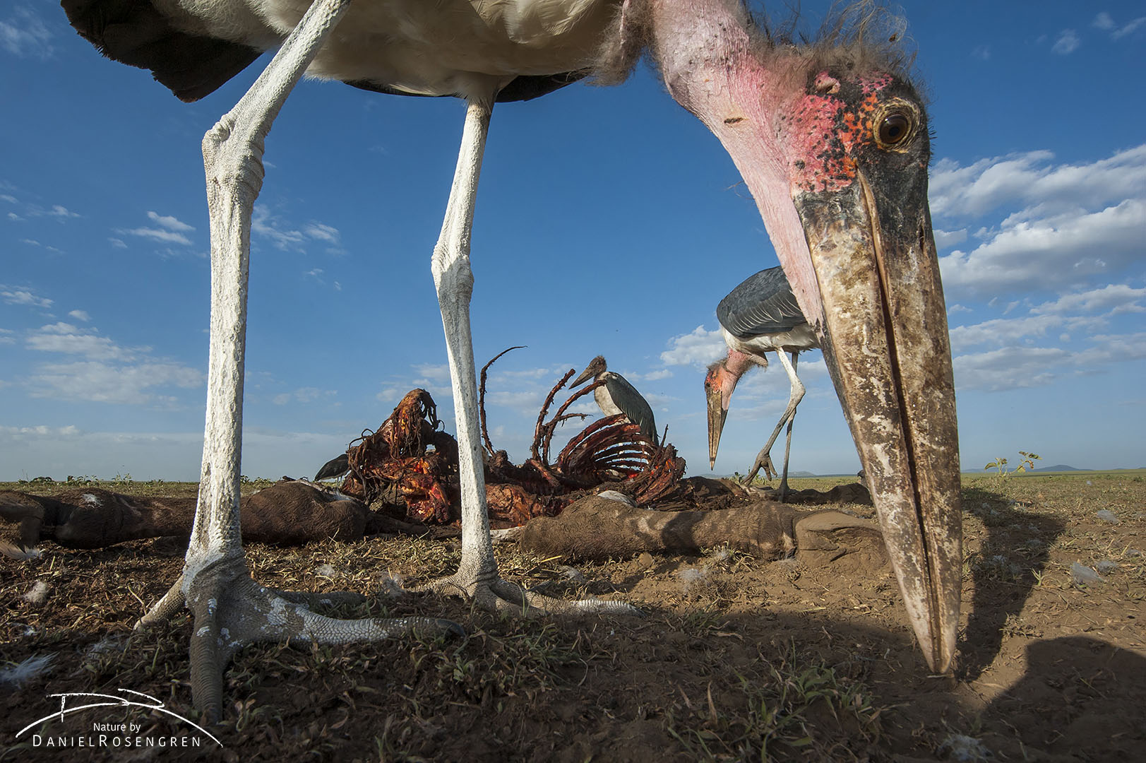 A Marabou stork picking up small pieces of meat just in front of the camera lens. © Daniel Rosengren