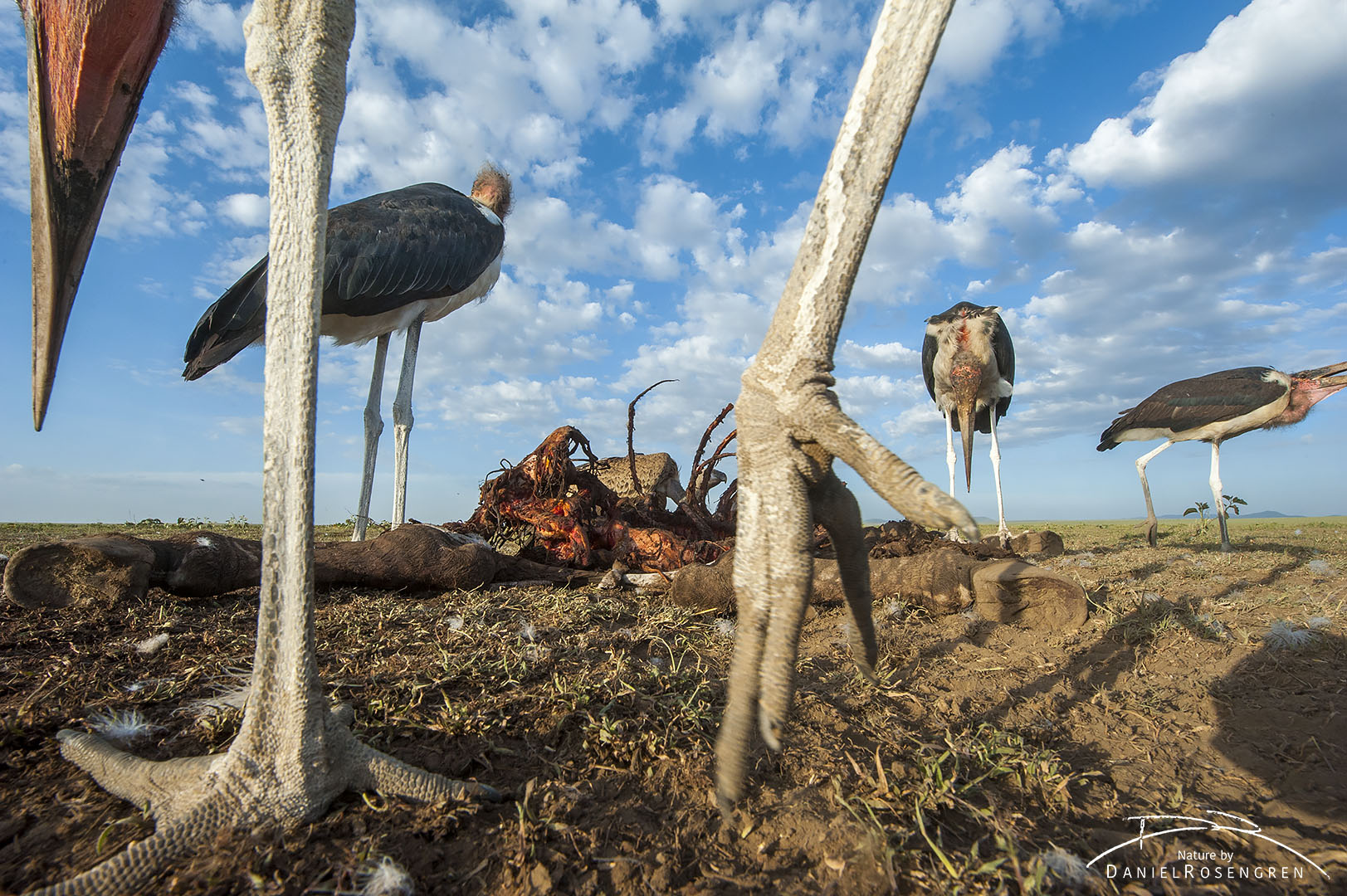Up close and personal with Marabou storks. © Daniel Rosengren