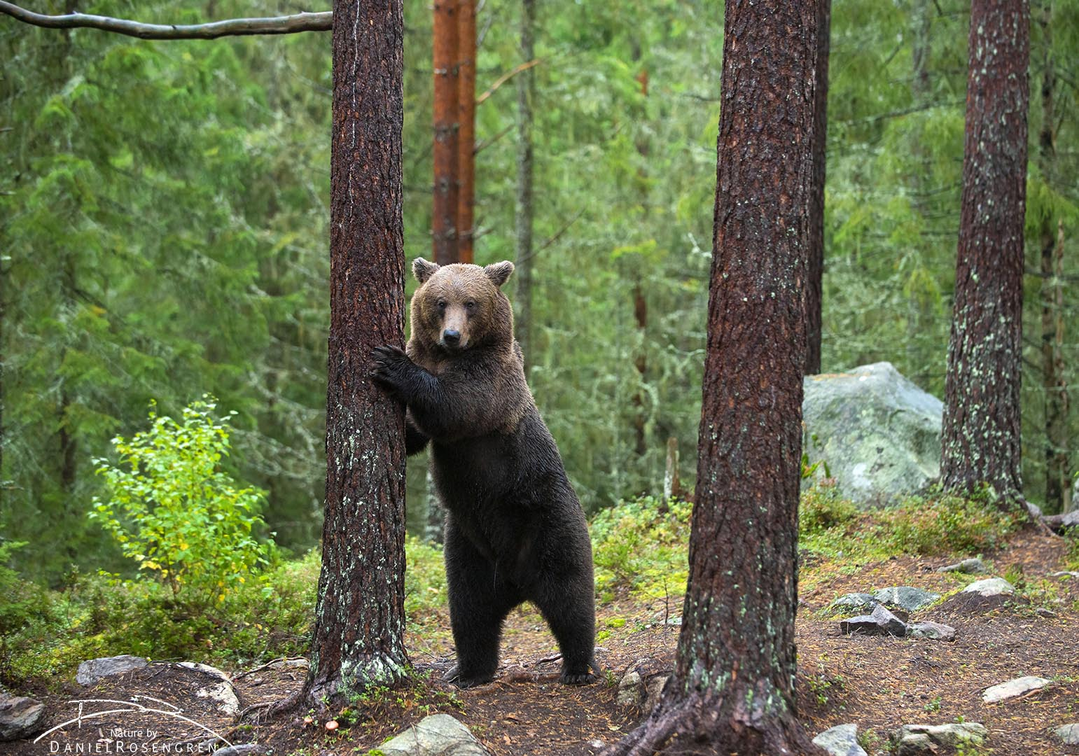 As a perfect model, the bear stood up against a tree and looked towards us.