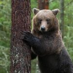 _DTR0813_Brown Bear_square