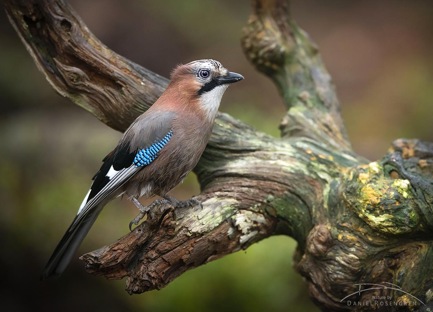 The Eurasian jay is a beautiful bird that is always fun to observe.