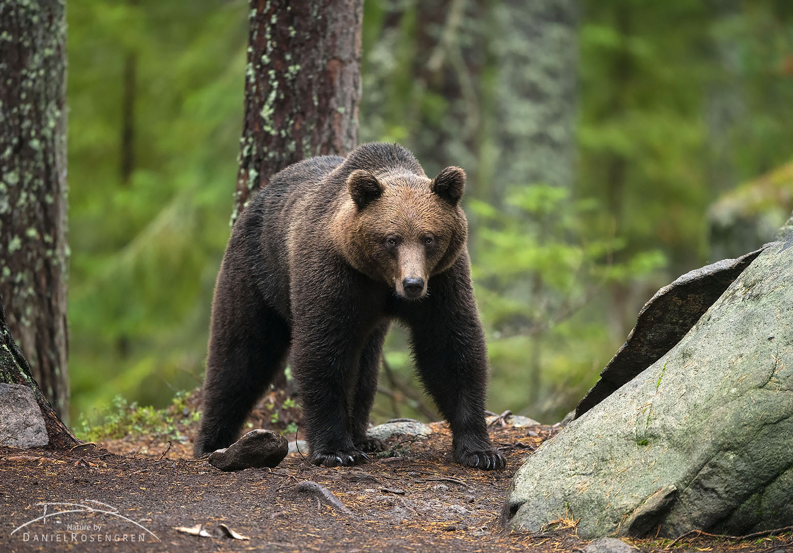 A brown bear seen in the forests of Sweden.